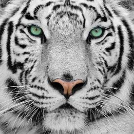 stock photo of tiger eye  - big white tiger with blue eyes close - JPG
