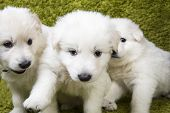 Three baby swiss shepherd sitting