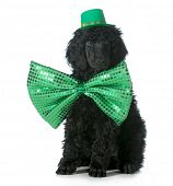 picture of standard poodle  - St Patricks Day dog  - JPG