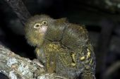 picture of titi monkey  - A titi monkey with rare twin babies on his back taken at the Bronx Zoo in New York - JPG