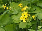 stock photo of celandine  - Flowering of celandine plants in summer time  - JPG
