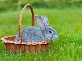 Cute Little Grey Rabbit In The Basket On Green Grass