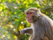 Macaque monkey in Kathmandu, Nepal