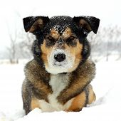 stock photo of husky sled dog breeds  - a square portrait of a cute German Shepherd Mix Breed dog looking at the camera with snow on his nose and laying snowy white background with room for text copyspace - JPG