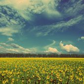 sunflowers field under blue sky with clouds - vintage retro style