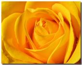 picture of yellow rose  - Close up macro shot of a yellow rose - JPG