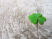 stock photo of clover  - Fresh green clover leaves over wooden background lucky shamrock St.Patrick