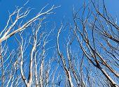 Bushfire Trees