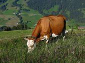 Grazing Swiss Cow