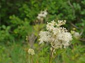 image of meadowsweet  - florescence from a meadowsweet flower in detail