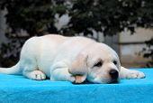Yellow Labrador Puppy Portrait On Blue