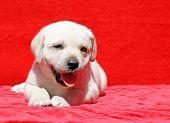 Happy Yellow Labrador Puppy Portrait On Red