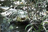 American crocodile (Crocodylus acutus) in wildlife in Palo Verde National Park