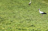Stork Running Around The Grass Field