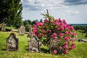 Tombsones with wild roses