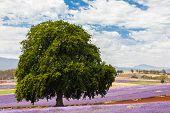 Lavender Farm In Tasmania