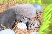 foto of ferrets  - Two weeks old cute ferret baby in the nest of hay with decorations - JPG