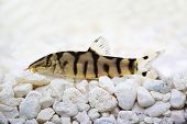 stock photo of loach  - Yoyo loach Almora loach or Pakistani loach - JPG