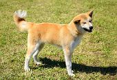 image of akita-inu  - Beauty Akita Inu dog in the park - JPG