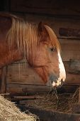 Palomino Horse Eating Yellow Hay