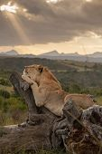 Lion lying on dead tree stump