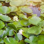 Beautiful white and pink waterlily or lotus flower in pond