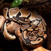 Royal python in terrarium