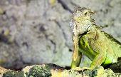 Iguana in terrarium