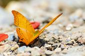 Cruiser Butterfly With Orange Feeding On The Ground