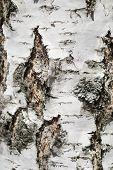 pic of white bark  - Natural white birch bark texture closeup as a background - JPG