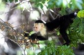 White-Throated Capuchin Monkey in Palo Verde National Park