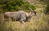 Bull eland moving through grassland