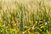 a corn field with barley waiting for harvest. symbolic photo for agriculture and healthy eating.