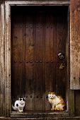 pic of judas  - Cats waiting to go inside - JPG