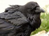 Closeup of old raven