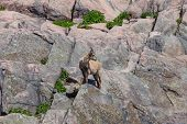 A Mountain Goat
