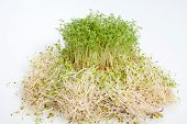 image of soybean sprouts  - Fresh alfalfa sprouts and cress on white background - JPG
