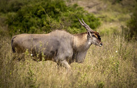 picture of eland  - Bull Eland moving through grassland in Kenya  - JPG