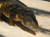 pic of crocodile  - Crocodiles  - JPG