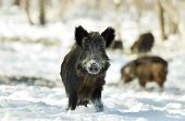 foto of boar  - Wild boar standing on snow and looking at camera - JPG