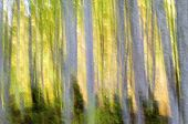 abstract beech forest scene in autumn, Irati Jungle, Pyrenees, Navarra, Spain