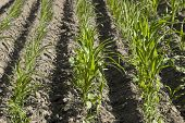 corn field with young seedlings