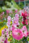 stock photo of hollyhock  - the beautiful hollyhock flower in the garden - JPG
