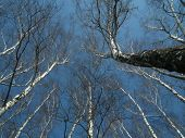 The Crowns Of Trees On A Background Of Blue Sky. Birch Trees Swaying In The Wind.
