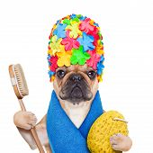 picture of bathing  - french bulldog dog ready to have a bath or a shower wearing a bathing cap and towel brush and a sponge isolated on white background - JPG
