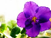stock photo of viola  - Amazing and bright purple viola in sunlight - JPG