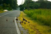 picture of wild turkey  - Wild turkey family are walking on the countryside - JPG