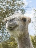 Portrait of a camel (kind Camelius)