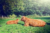 Cows Grazing At Green Field
