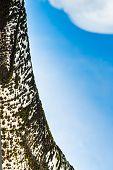 Birch Tree Detail